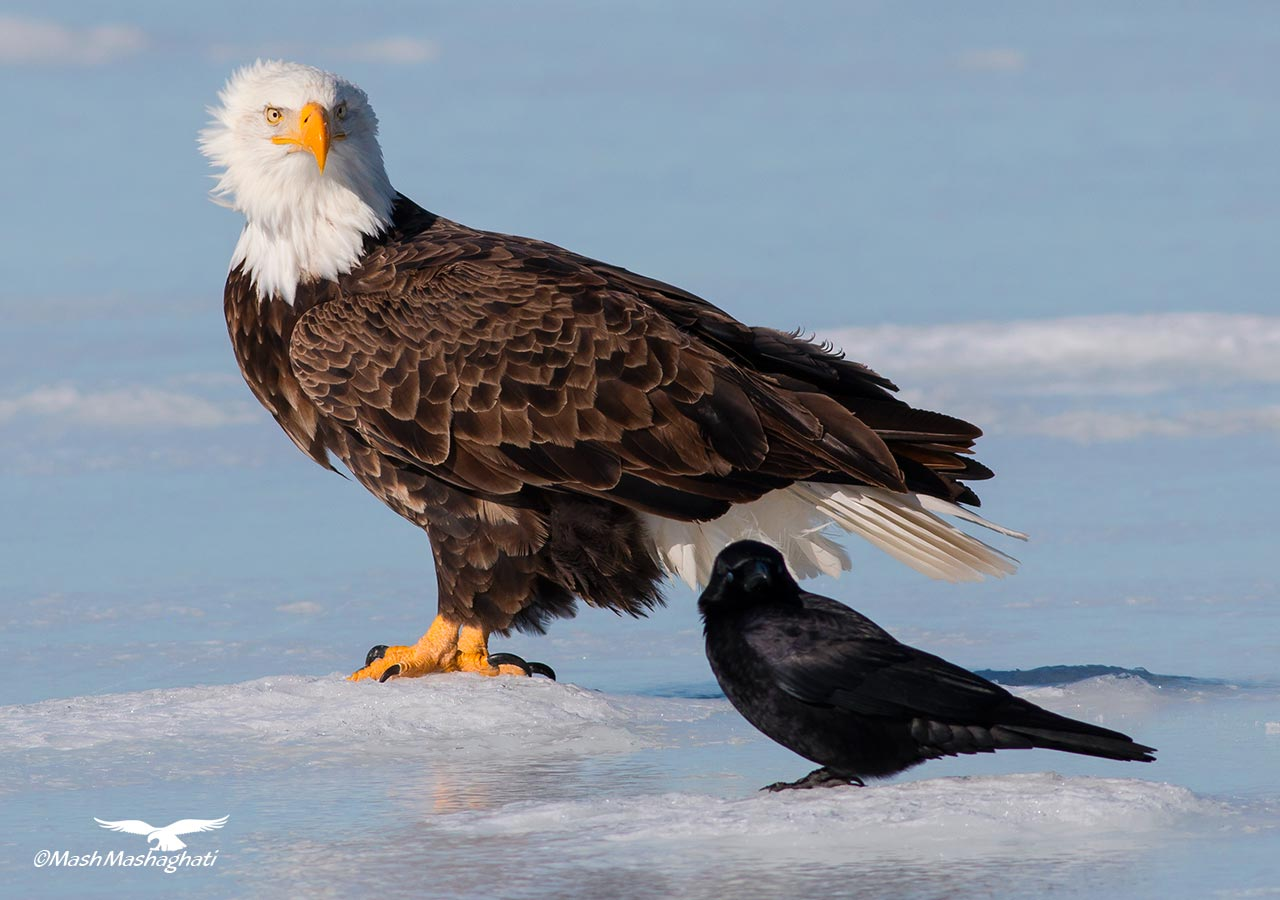 Bald Eagle Photography by Mash Mashaghati
